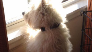 scruffy white dog looking out the window